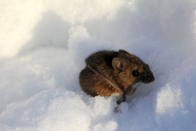 How to Keep Mice out of Your Snowmobile